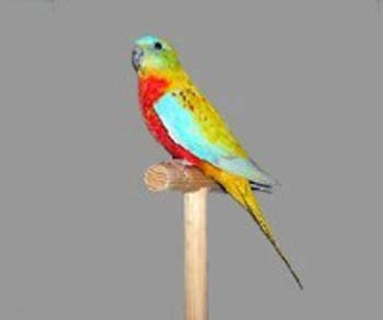 Turquoisine Parkiet Turquoise Parrot 3