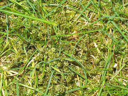 gras met mos