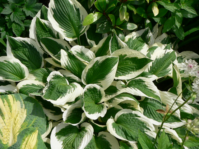 hosta5.jpg