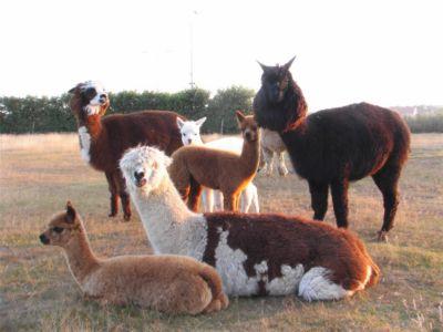 Alpaca-veulens 2006